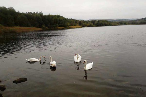 лебеди в Трускавце